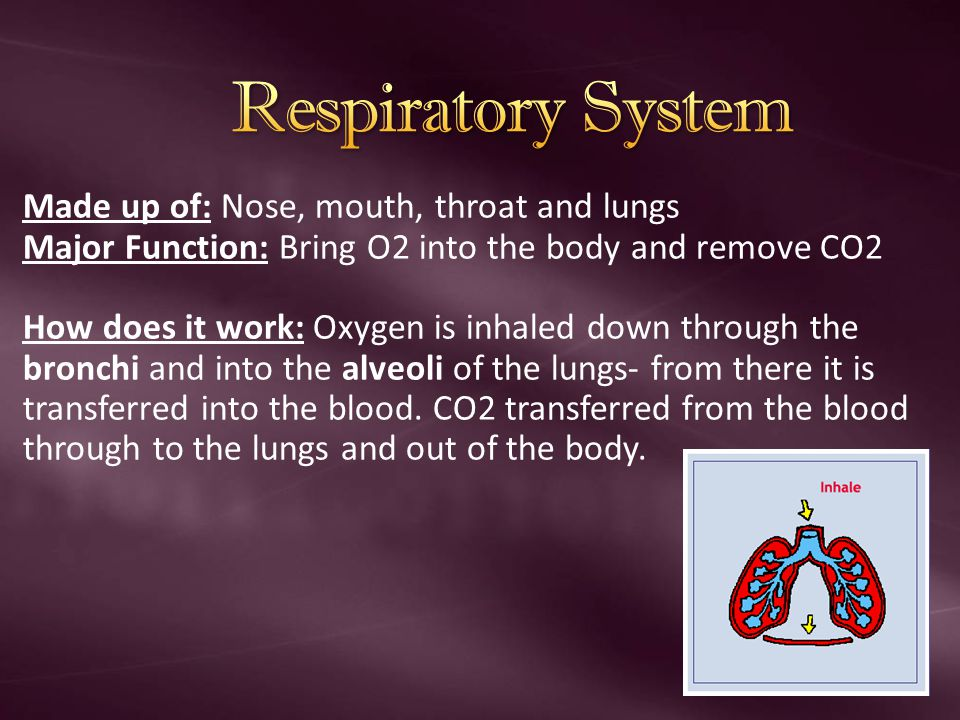 Respiratory System Made up of: Nose, mouth, throat and lungs