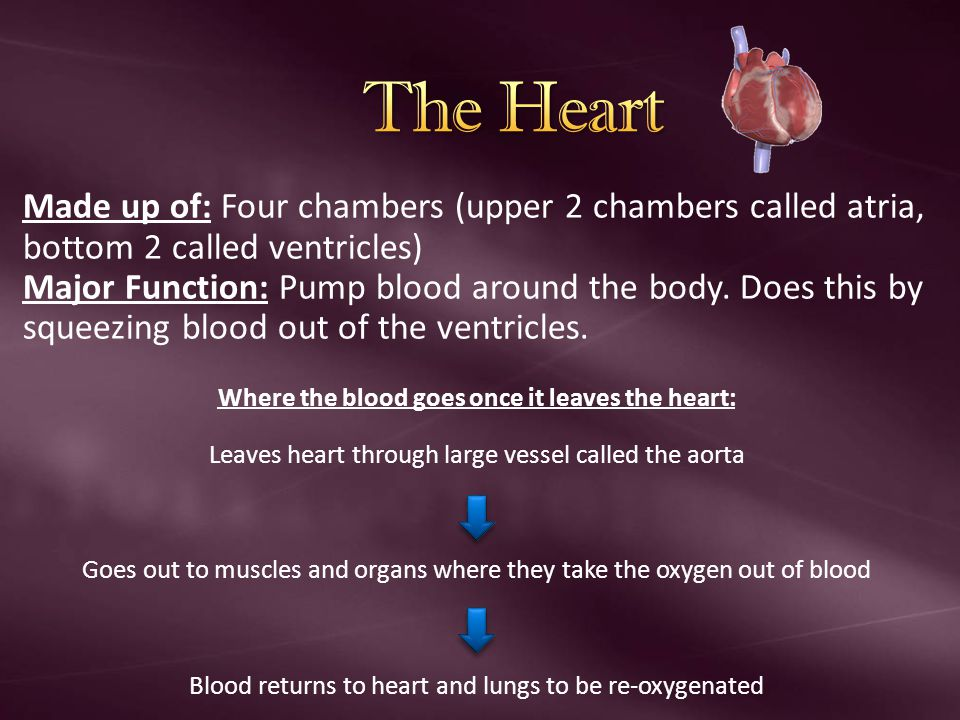 Where the blood goes once it leaves the heart: