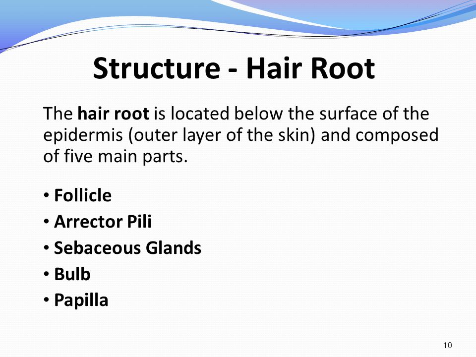 Structure - Hair Root The hair root is located below the surface of the epidermis (outer layer of the skin) and composed of five main parts.