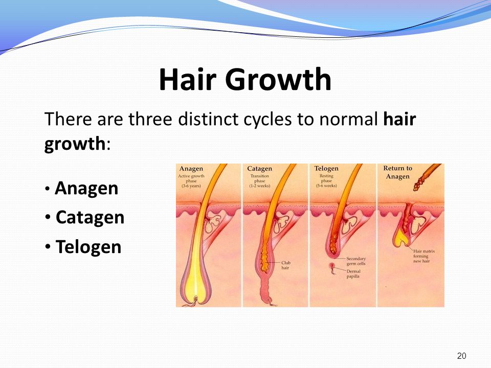 Hair Growth There are three distinct cycles to normal hair growth: