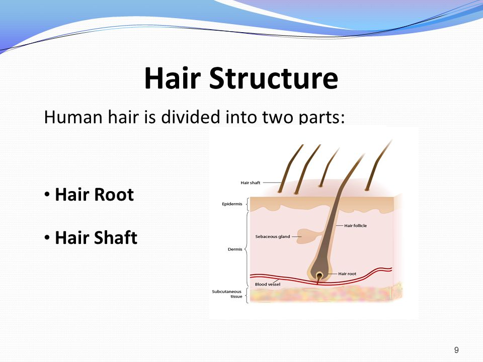 Hair Structure Human hair is divided into two parts: Hair Root