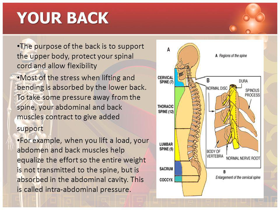 YOUR BACK The purpose of the back is to support the upper body, protect your spinal cord and allow flexibility.