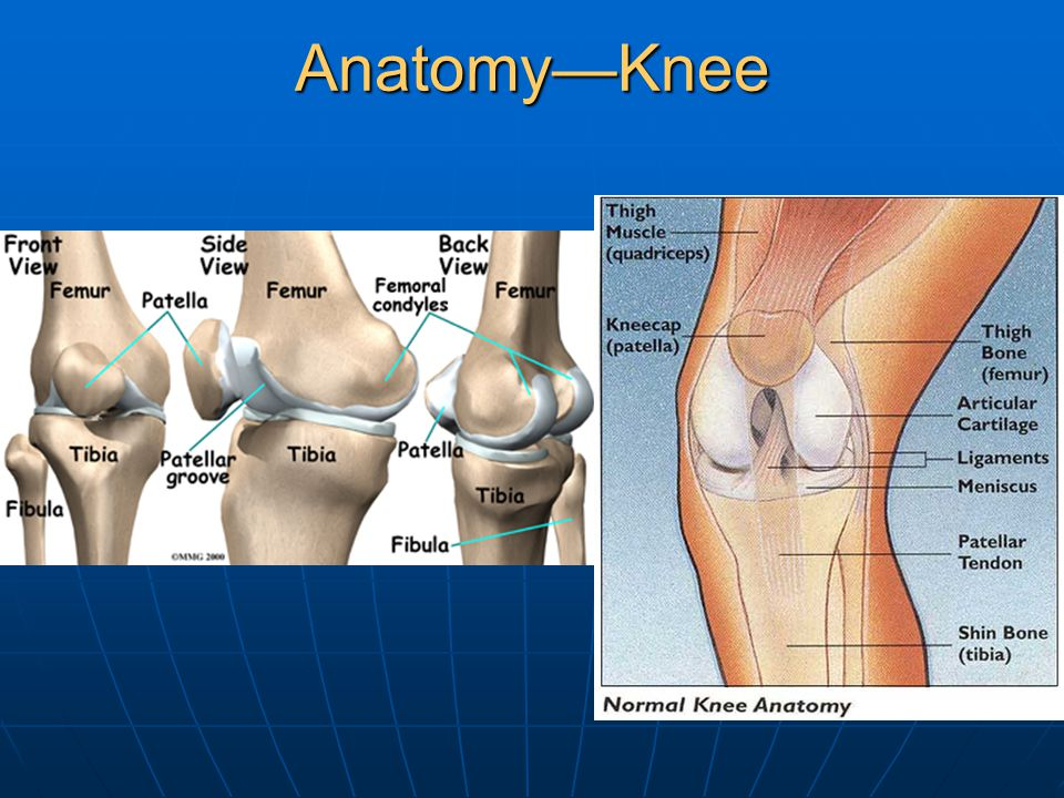 Anatomy—Knee