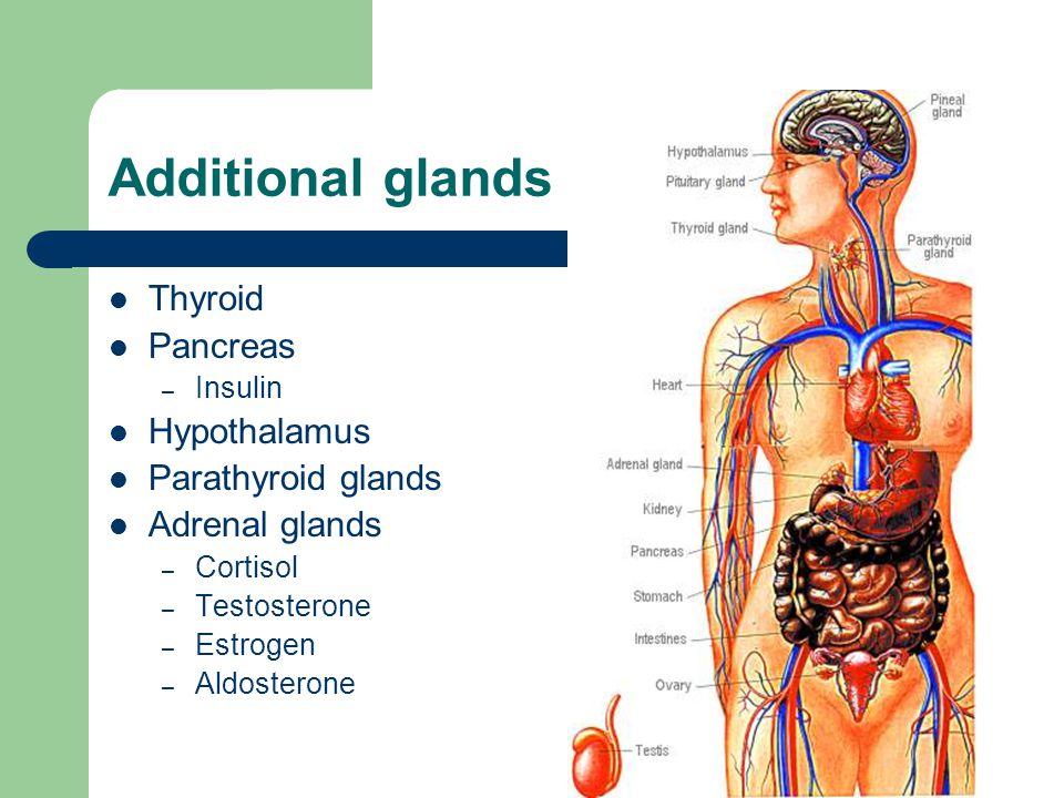 Additional glands Thyroid Pancreas Hypothalamus Parathyroid glands
