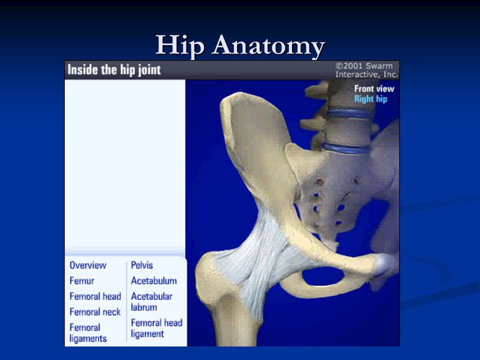 Hip Anatomy