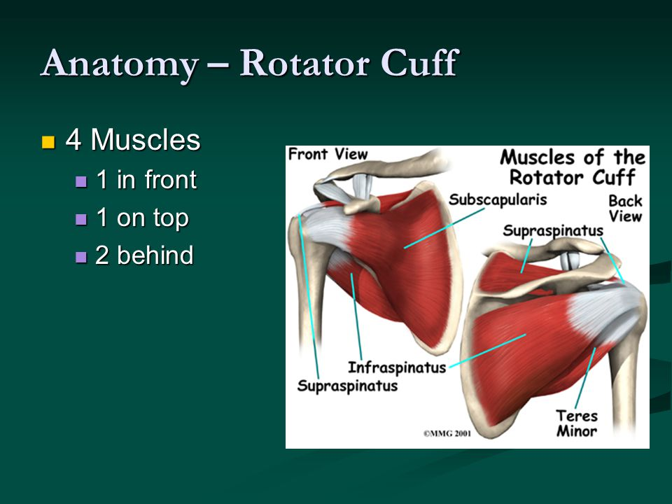 Anatomy – Rotator Cuff 4 Muscles 1 in front 1 on top 2 behind
