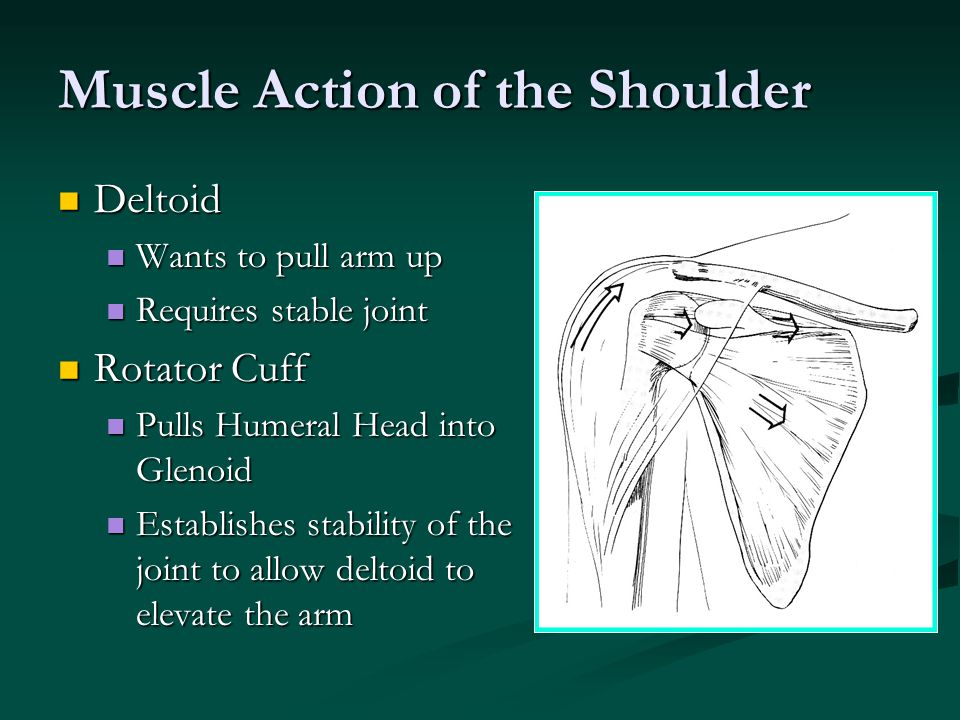 Muscle Action of the Shoulder