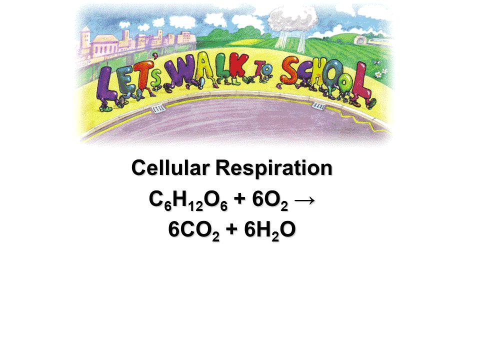 Cellular Respiration C6H12O6 + 6O2 → 6CO2 + 6H2O