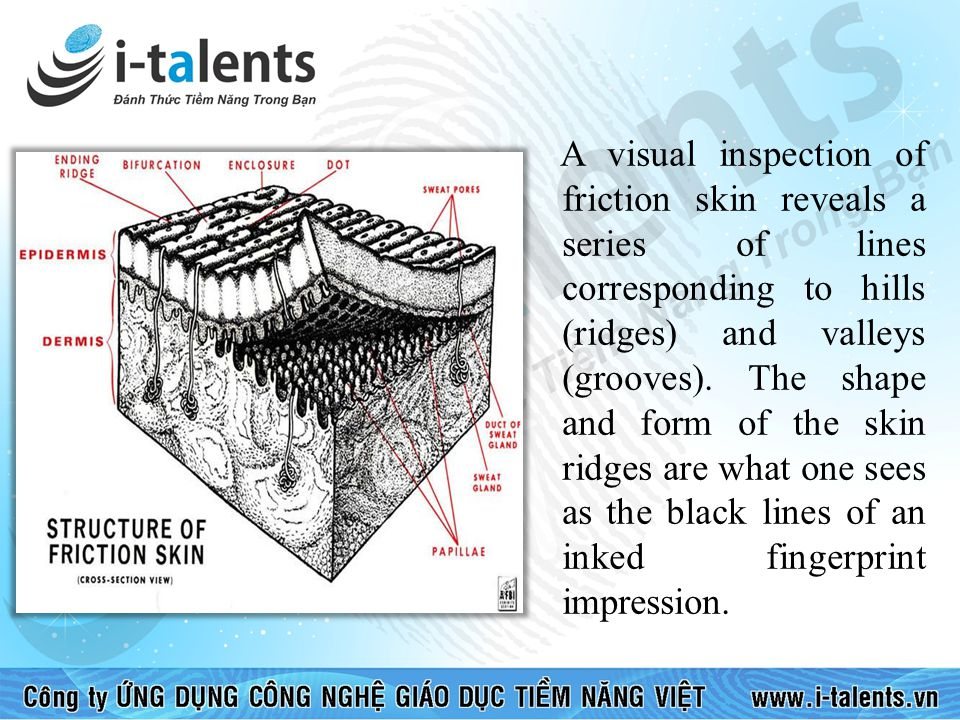 A visual inspection of friction skin reveals a series of lines corresponding to hills (ridges) and valleys (grooves).