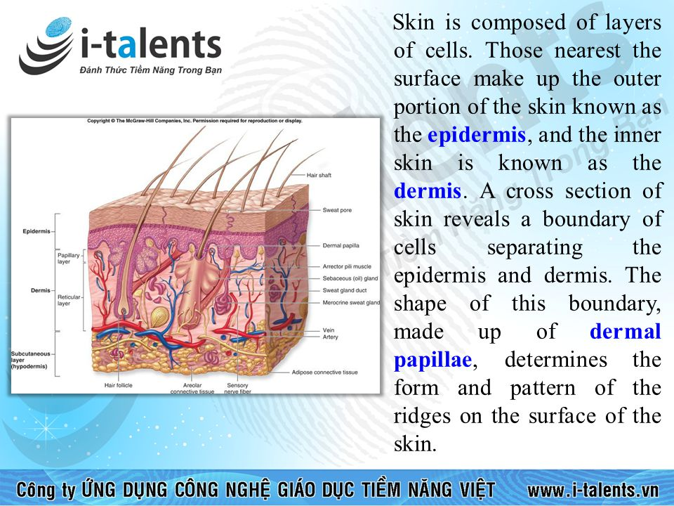 Skin is composed of layers of cells