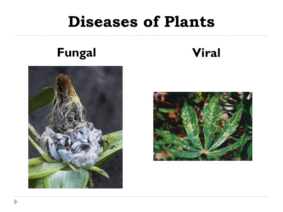 Diseases of Plants Fungal Viral