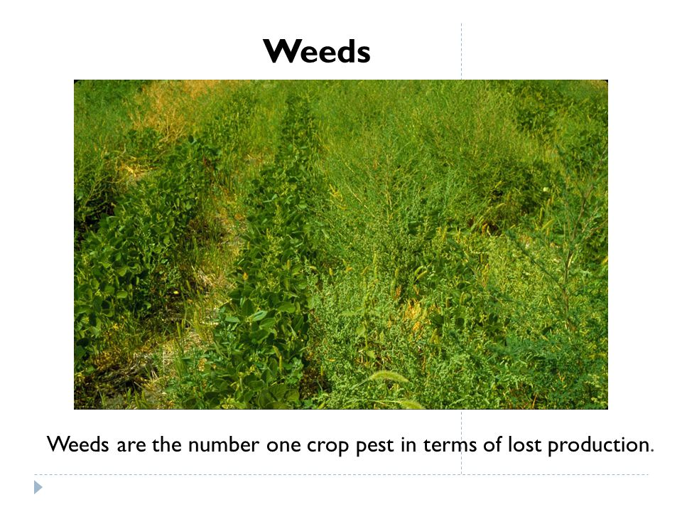 Weeds Weeds are the number one crop pest in terms of lost production.