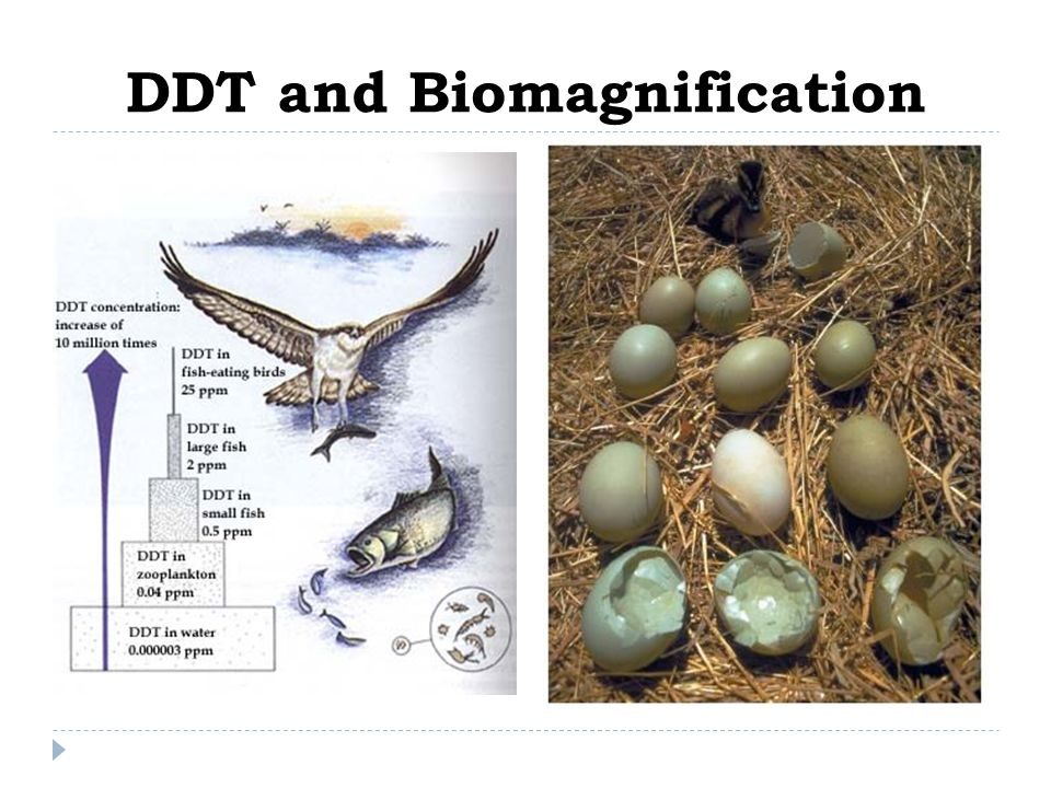 DDT and Biomagnification