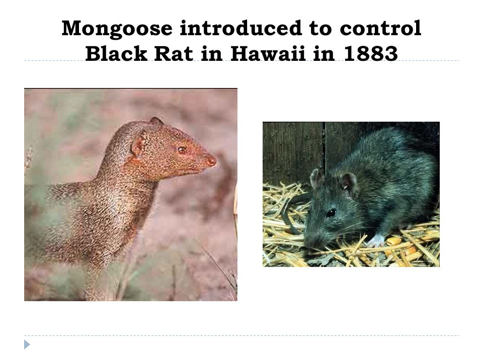 Mongoose introduced to control Black Rat in Hawaii in 1883