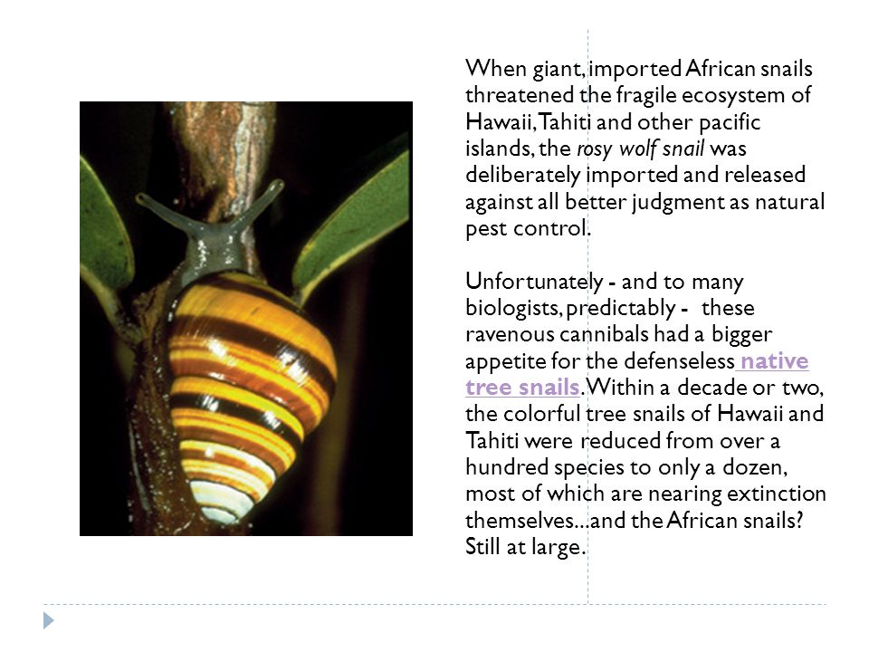 When giant, imported African snails threatened the fragile ecosystem of Hawaii, Tahiti and other pacific islands, the rosy wolf snail was deliberately imported and released against all better judgment as natural pest control.
