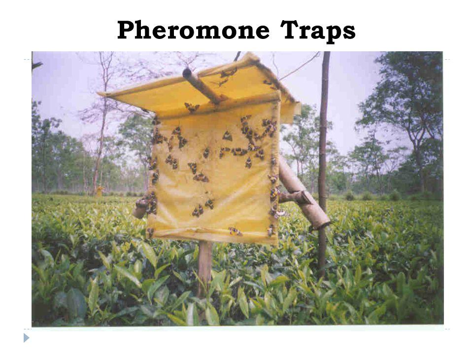 Pheromone Traps