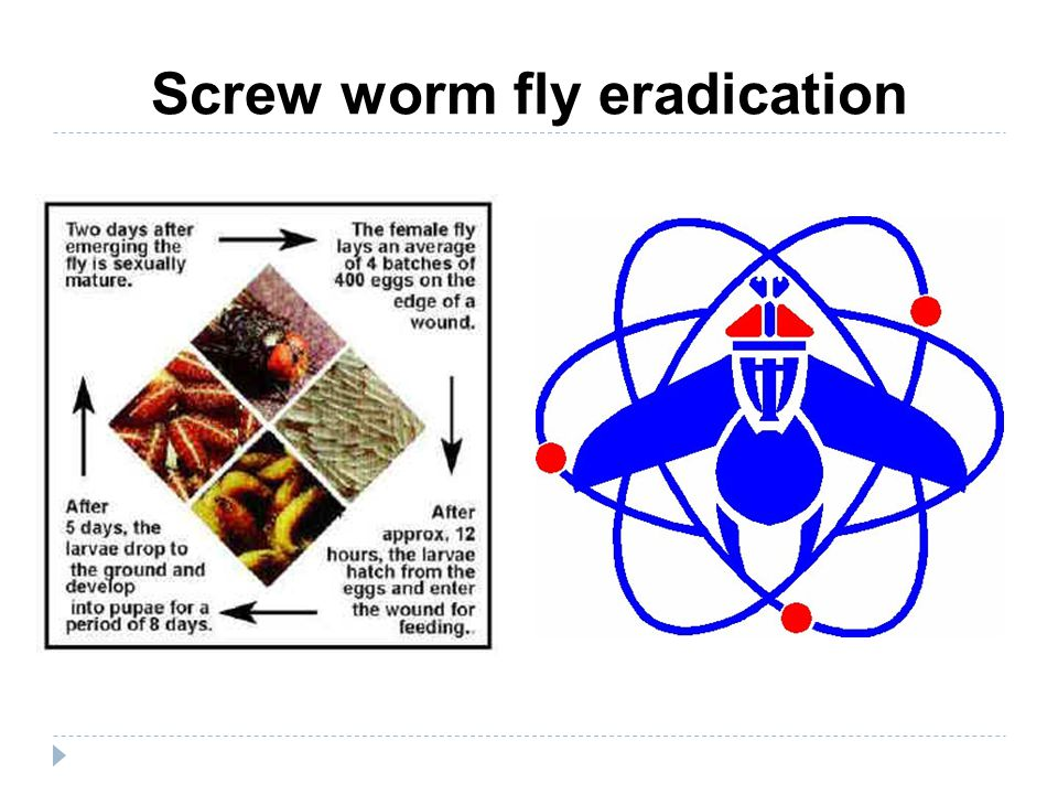Screw worm fly eradication