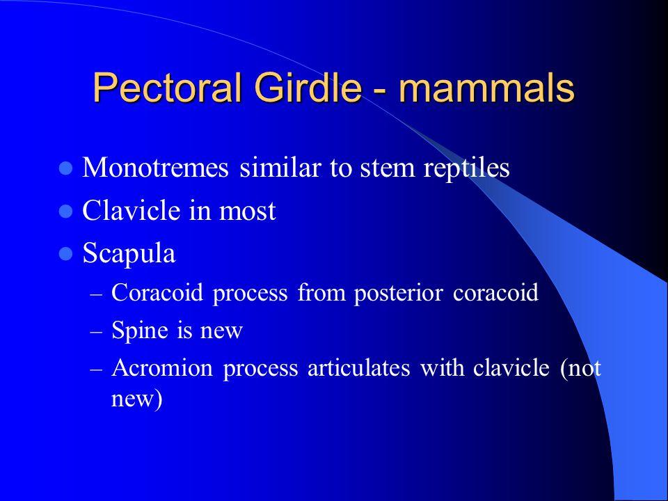 Pectoral Girdle - mammals