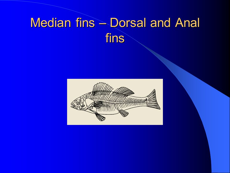 Median fins – Dorsal and Anal fins