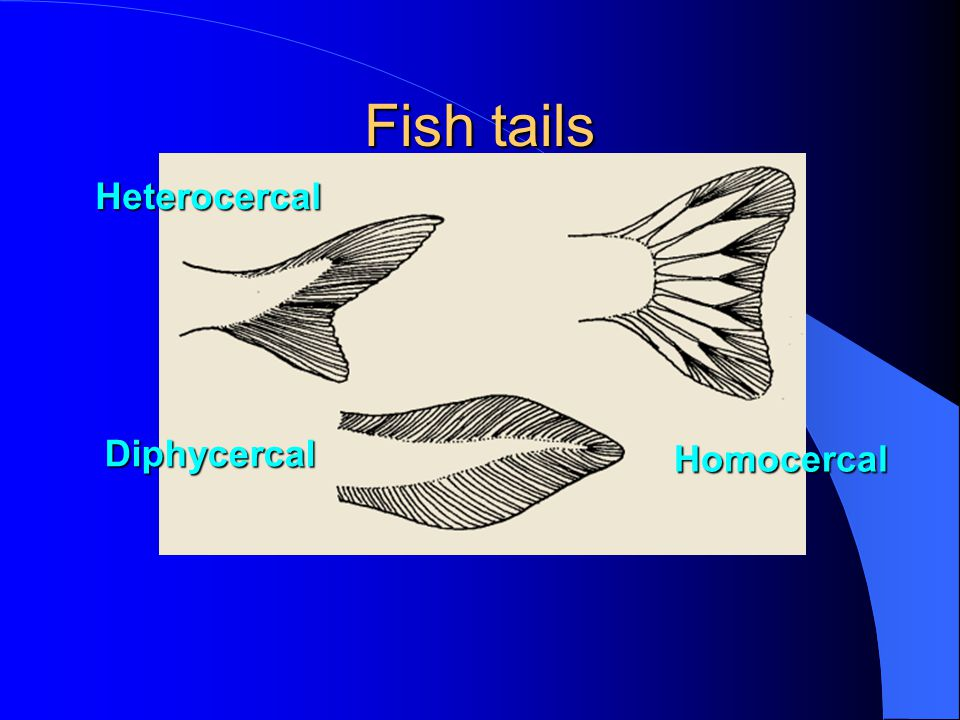 Fish tails Heterocercal Diphycercal Homocercal