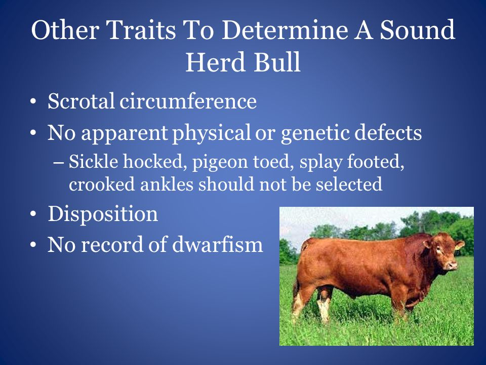 Other Traits To Determine A Sound Herd Bull