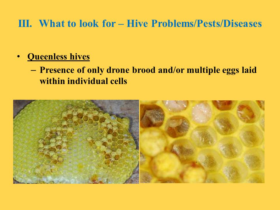 III. What to look for – Hive Problems/Pests/Diseases