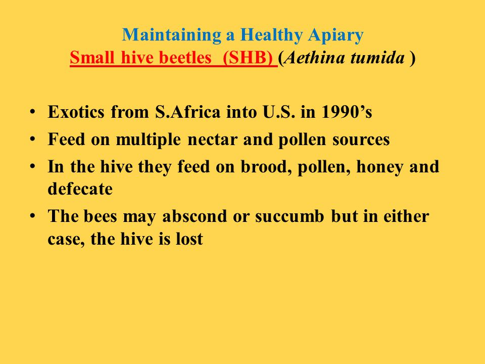 Maintaining a Healthy Apiary Small hive beetles (SHB) (Aethina tumida )