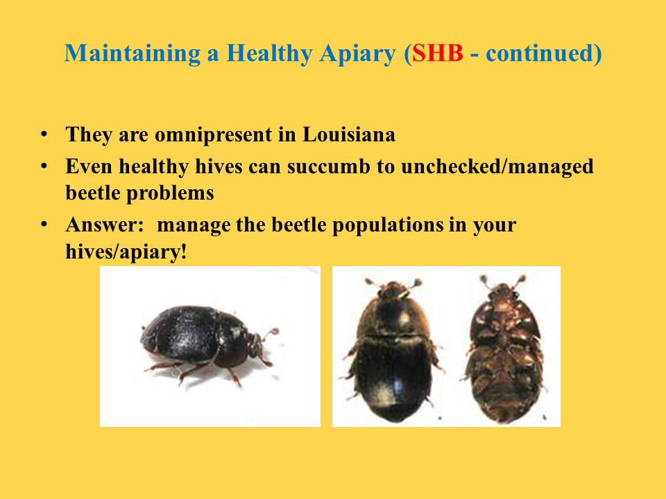 Maintaining a Healthy Apiary (SHB - continued)
