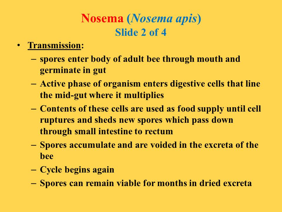 Nosema (Nosema apis) Slide 2 of 4