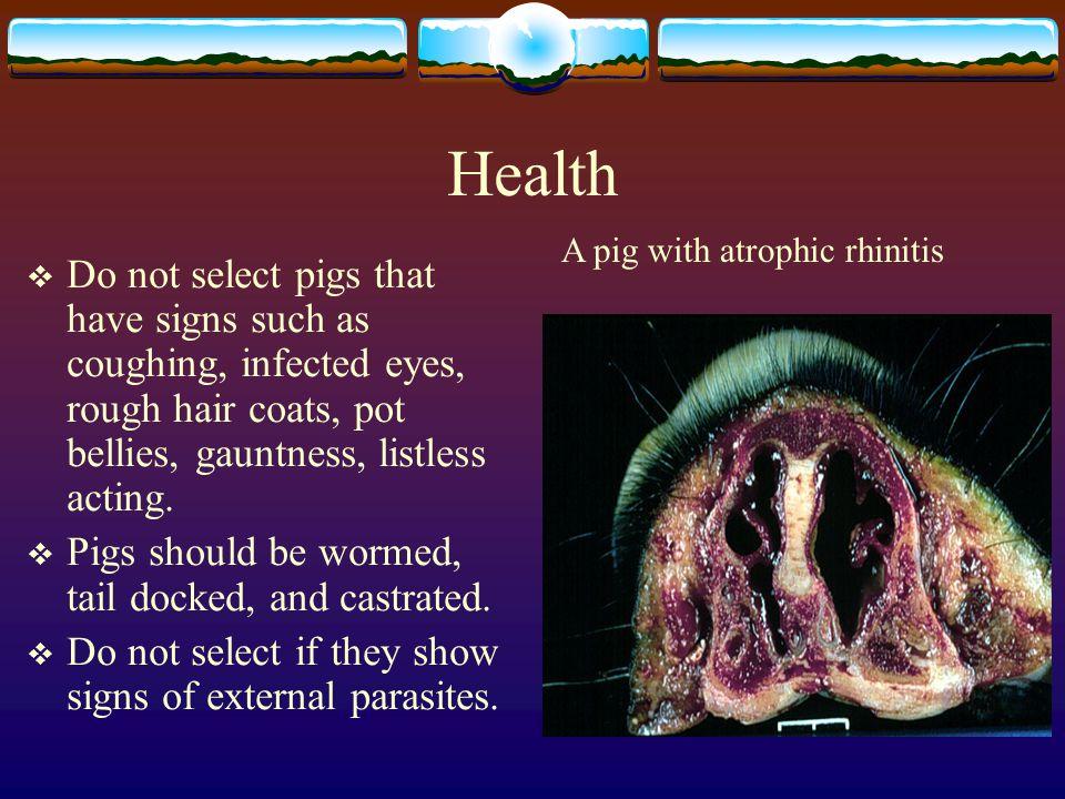 Health A pig with atrophic rhinitis.