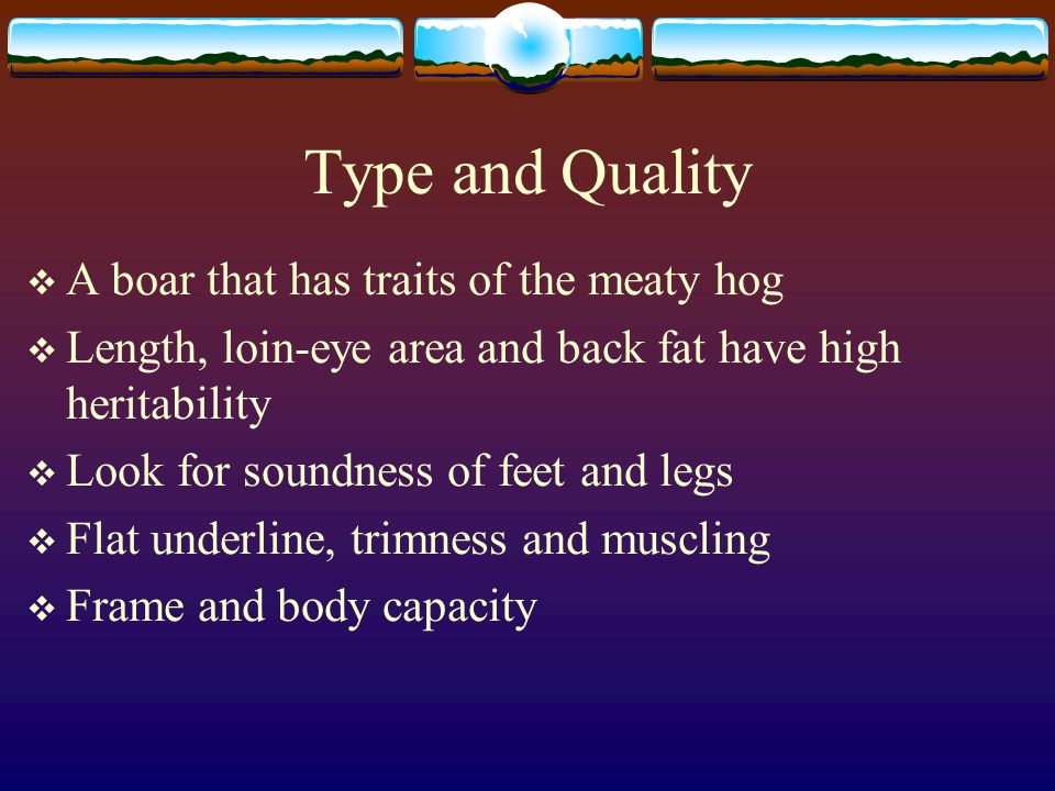 Type and Quality A boar that has traits of the meaty hog