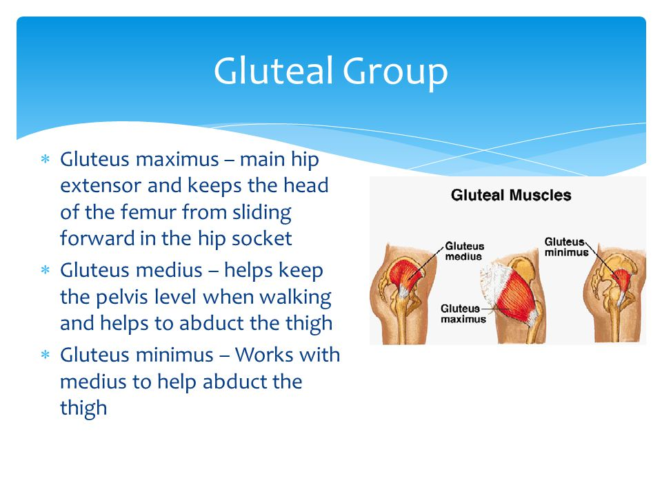 Gluteal Group Gluteus maximus – main hip extensor and keeps the head of the femur from sliding forward in the hip socket.