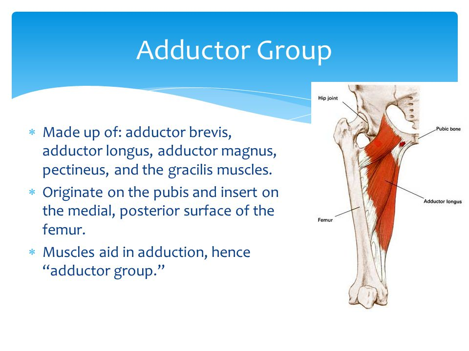 Adductor Group Made up of: adductor brevis, adductor longus, adductor magnus, pectineus, and the gracilis muscles.