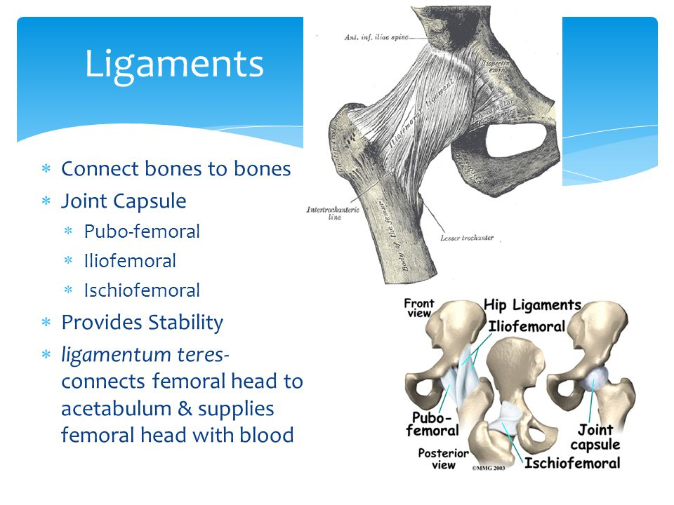 Ligaments Connect bones to bones Joint Capsule Provides Stability