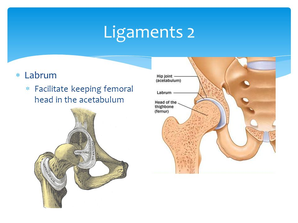 Ligaments 2 Labrum Facilitate keeping femoral head in the acetabulum