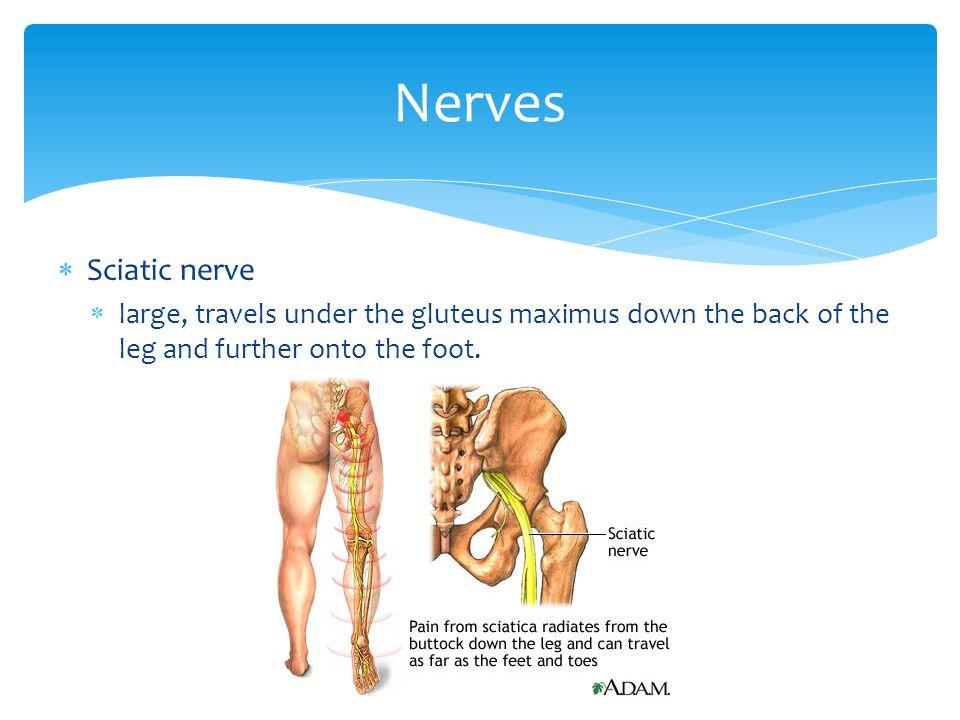 Nerves Sciatic nerve.