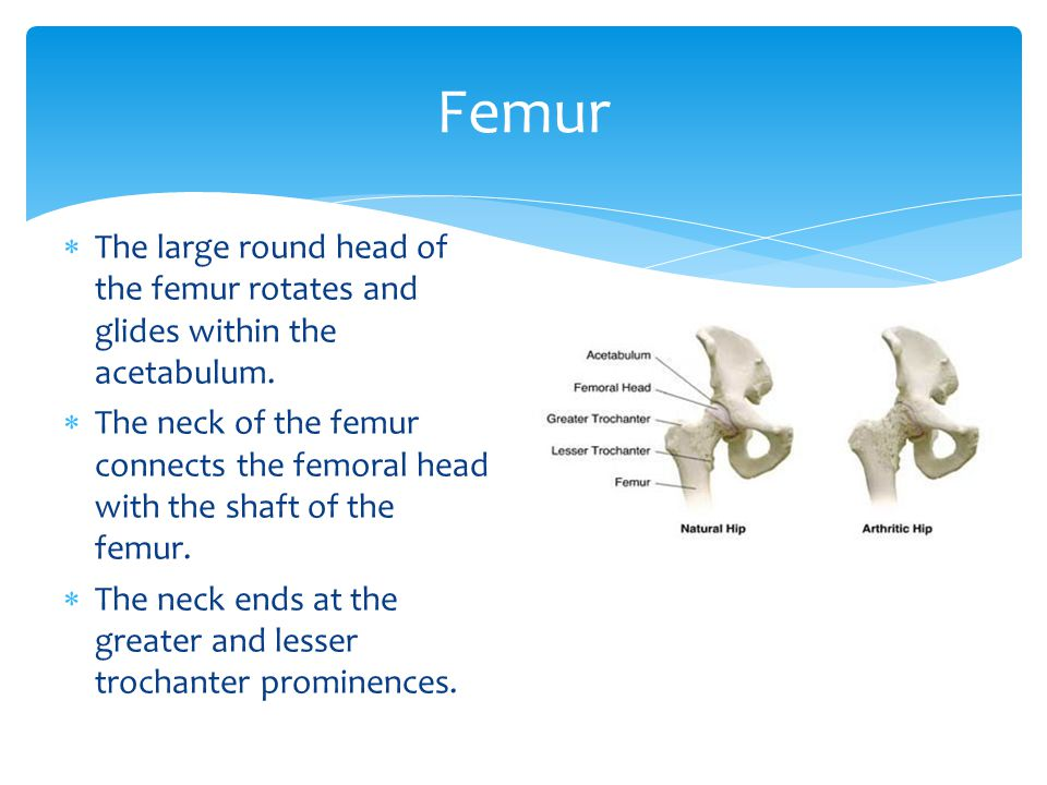 Femur The large round head of the femur rotates and glides within the acetabulum.