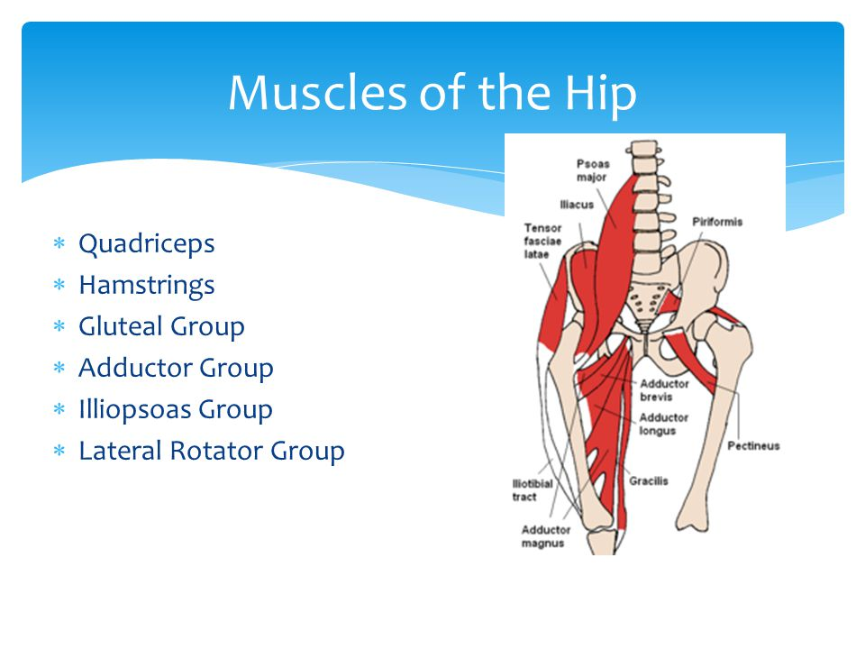 Muscles of the Hip Quadriceps Hamstrings Gluteal Group Adductor Group