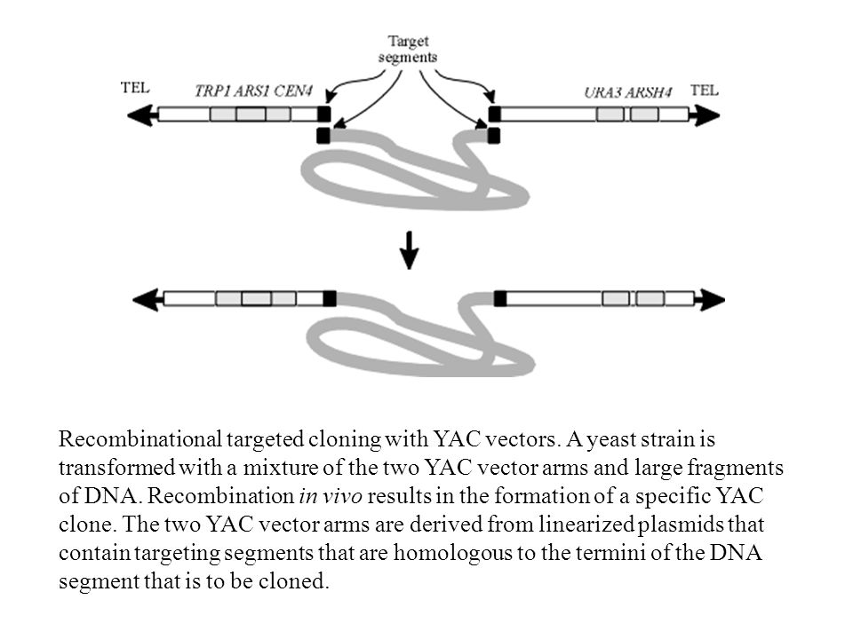 Recombinational targeted cloning with YAC vectors