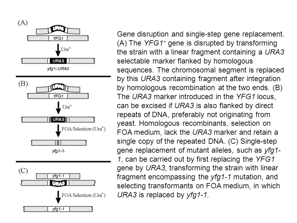Gene disruption and single-step gene replacement