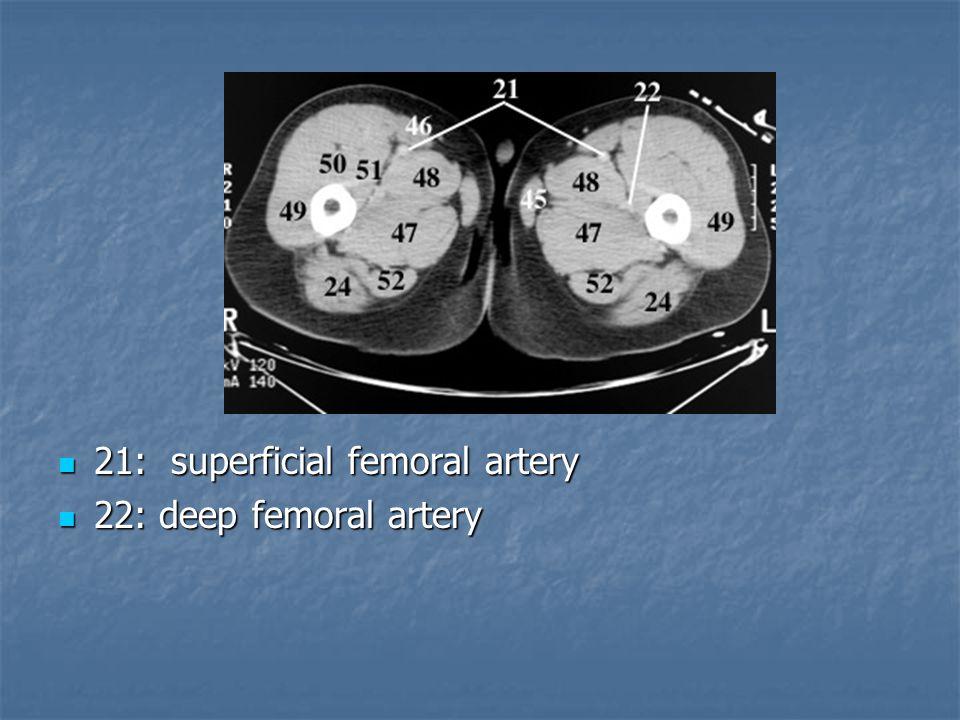 21: superficial femoral artery
