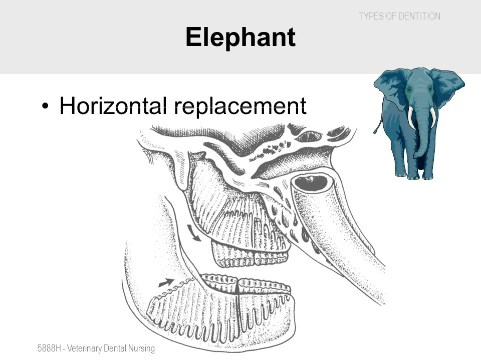 Elephant Horizontal replacement 5888H - Veterinary Dental Nursing