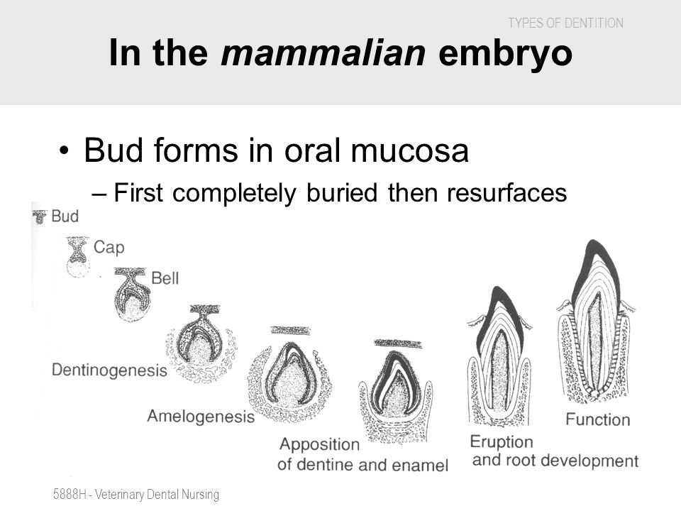 In the mammalian embryo