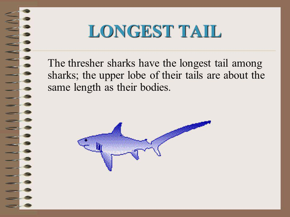 LONGEST TAIL The thresher sharks have the longest tail among sharks; the upper lobe of their tails are about the same length as their bodies.