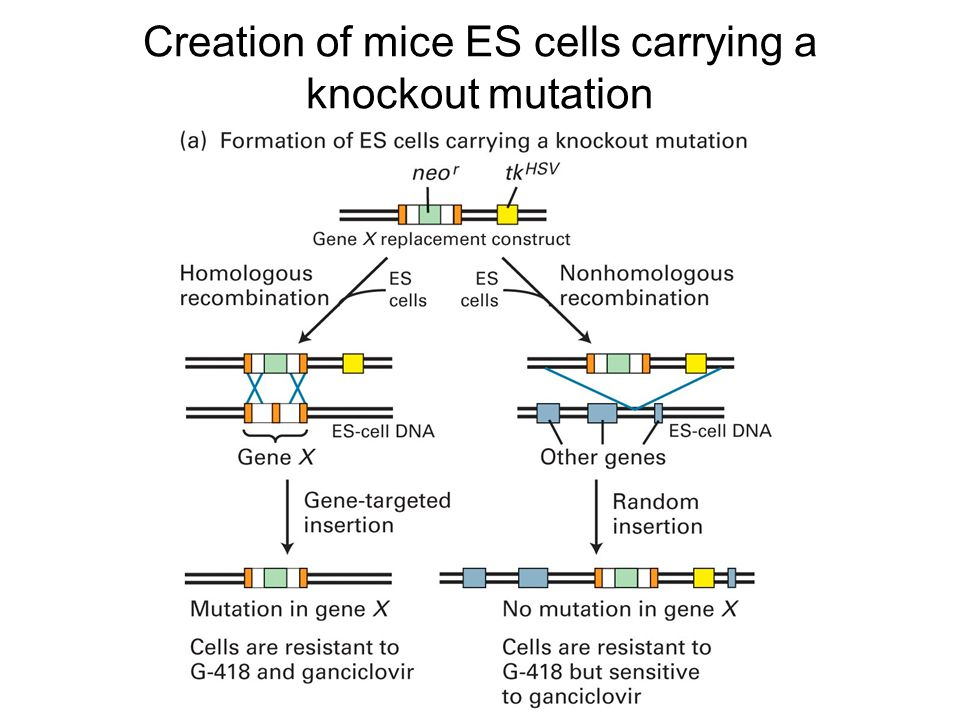 Creation of mice ES cells carrying a knockout mutation