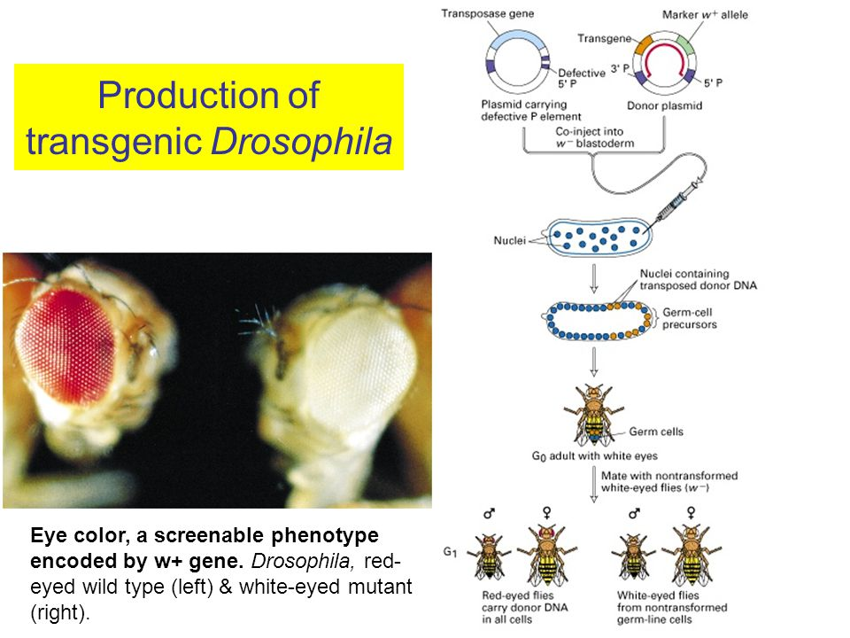 Production of transgenic Drosophila