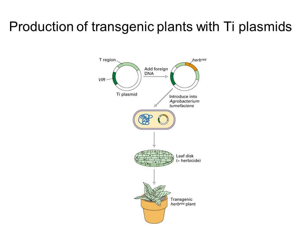 Production of transgenic plants with Ti plasmids