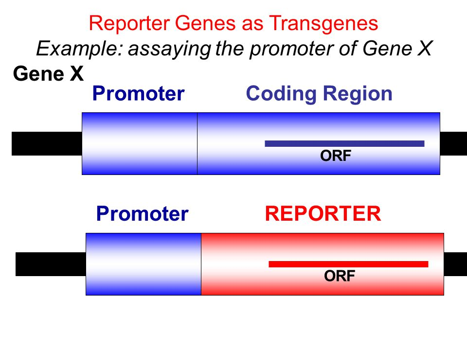 Reporter Genes as Transgenes Example: assaying the promoter of Gene X