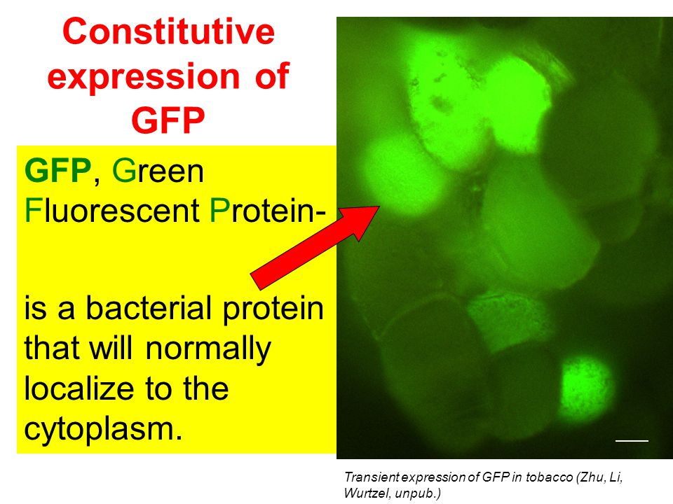 Constitutive expression of GFP
