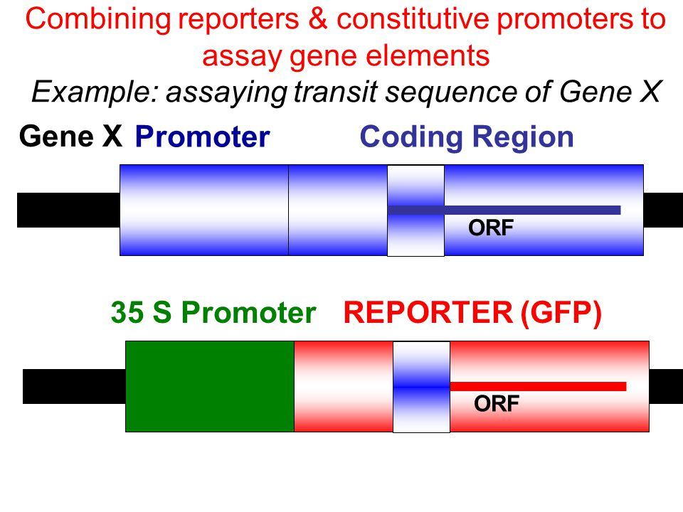 Promoter Coding Region 35 S Promoter REPORTER (GFP)